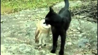 gattoegufo